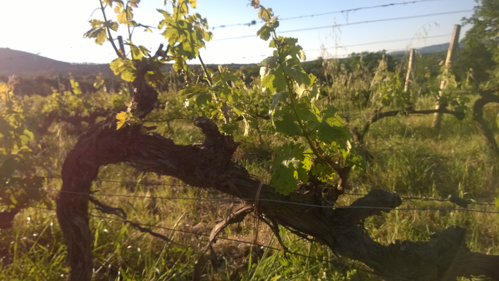 Una pianta di Cabernet all'Ornellaia